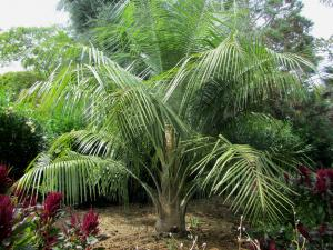 Butia x parajubaea cocoides.jpg